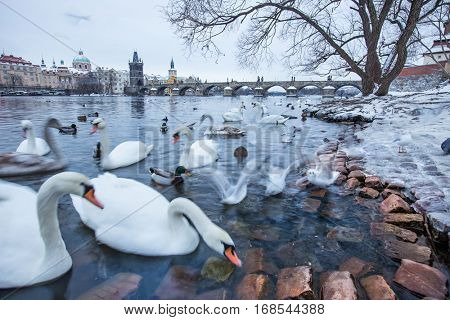 Swans, ducks and gulls in the river of Vltava during winter., the Charles bridge in background.