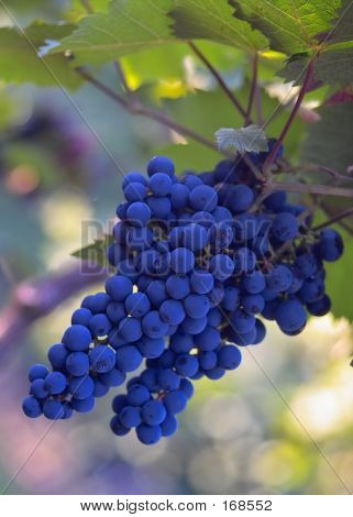 Blue Tasty Wine Grapes