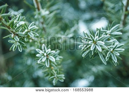 Winter background. Tree in frost. Branches of a Christmas tree covered with snow in cold weather. Frozen coniferous branches in white winter. Frosty winter landscape in snowy forest.