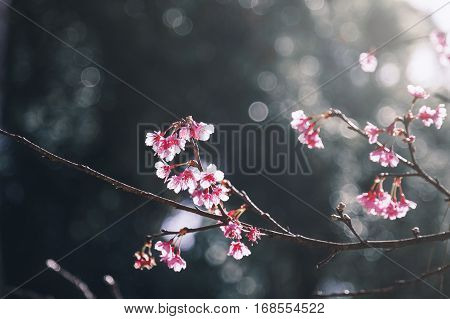 Pink Wild Himalayan Cherry flowers called 'Sakura' on branch with blurry soft dark background and sunlight in garden.