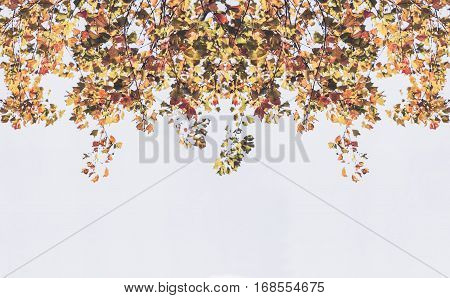 Backdrop from maple leaves in autumn with sunlight on white sky.