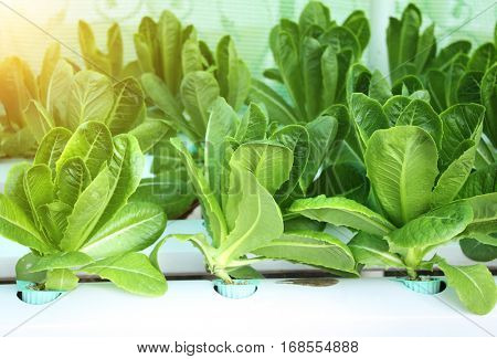 Green leaves of lettuce salad in hydroponic farm, Thailand