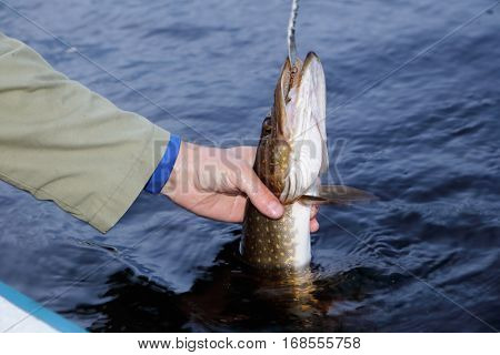 A recreational fishermen in a small boat takes his hand the freshly caught pike.