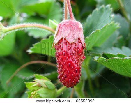 Ripening strawberry fruit berry in a garden