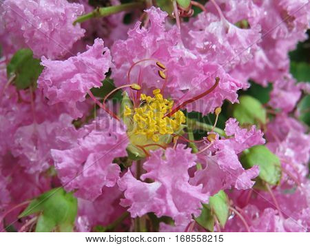 Crepe Myrtle blossom close up of crape myrtle flowers
