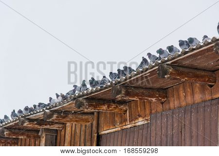 Pigeons on a roof are heated. Many pigeons sit on a roof of the big building