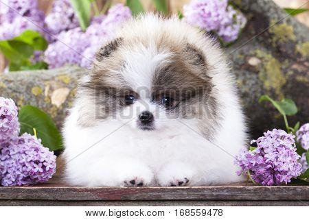 Pomeranian Spitz white and lilac color