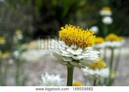 Everlasting daisy daisies close up native Australian wild flower