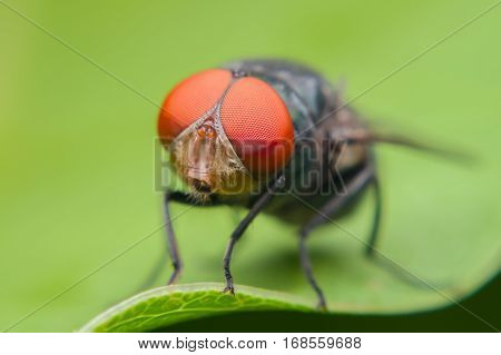 Close up of a green fly on a green leafFly is carrier of diarrhea Macro of a green fly