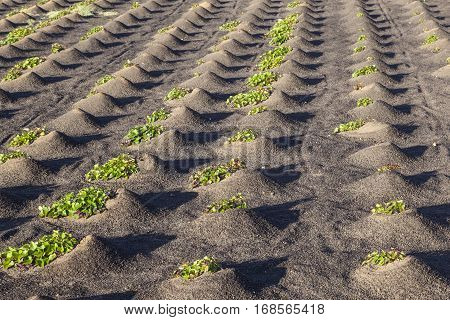 Pattern Of Field With Vegetables Growing On Volcanic Earth