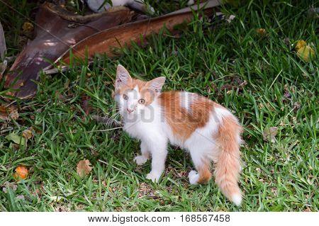 A very skinny kitten on a lawn in a street in Mombasa Kenya