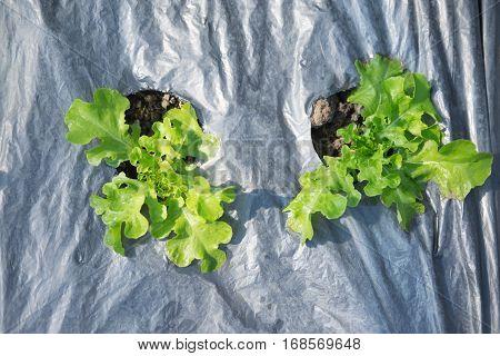 Green Oak salad in the vegetable garden