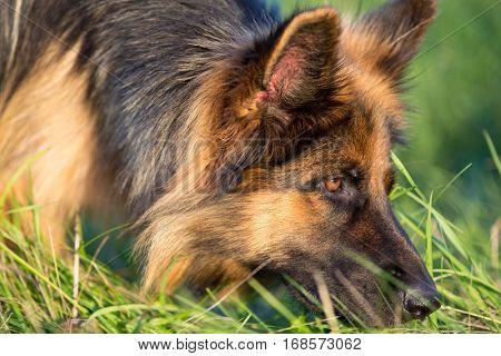 German shepherd tracker dog working outdoor
