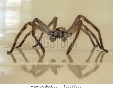 Huntsman spider and tiled reflection. Bathroom floor arachnid.
