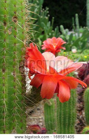 Red catcus desert flower blooming in cacti garden
