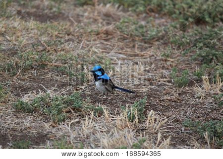 Australian native fairy wren in the nature