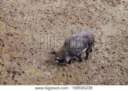 Wild boar on ground