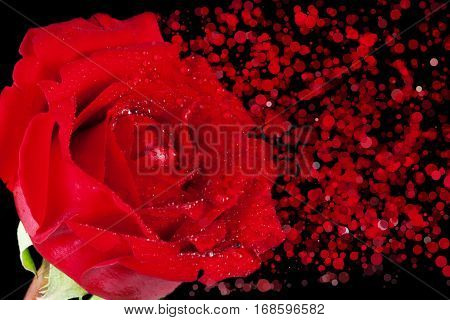 red rose with drops and disintegration effect particles on black background holiday valentine day and love concept