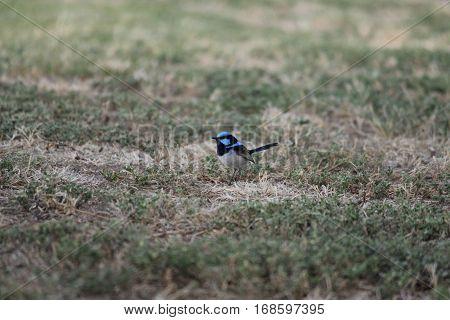 australian native blue birds in the nature