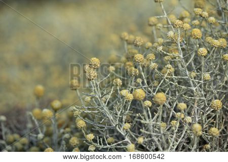art in the nature of Australian native yellow flowers and bush