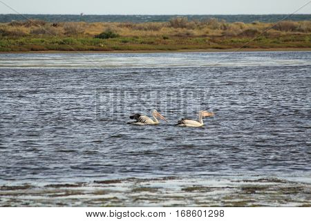 two pelicans are relaxing in the water