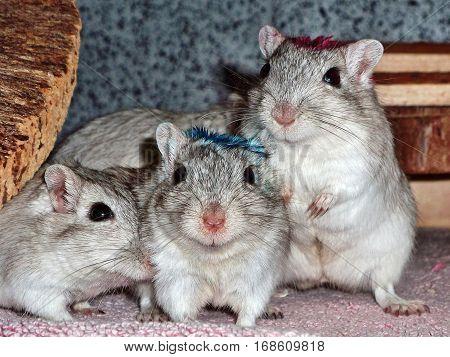 Group of gerbils. Gerbil mice are popular pets.