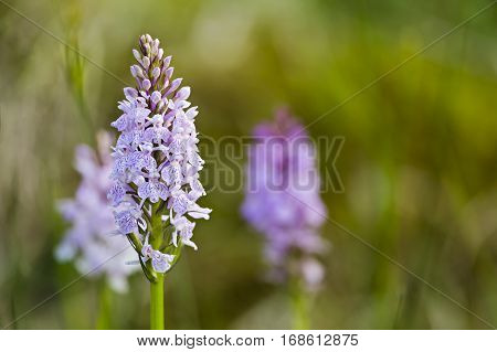 Orchids In The High Fens, Belgium