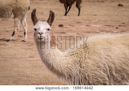 Funny portrait of Lama Alpaca in the altiplano. Lamas and alpacas are very popular in Bolivia and Peru for their wool and meat