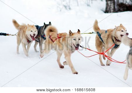 Husky sled in tandem driven by the musher. Siberian dogs driven sleigh people in the North. Animals active dog sports at work in the winter.