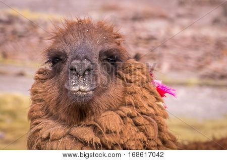 Portrait of Alpaca. Lamas and alpacas are very popular in Bolivia and Peru for their wool and meat