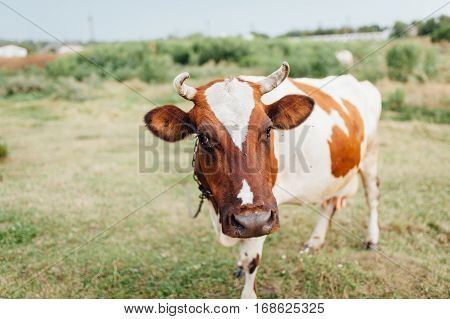 Beautiful Brown And White Cow In A Pasture.