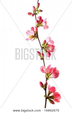 Spring flowering quince