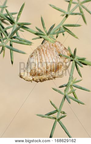 Closeup of the nature of Israel - mantis ootheca