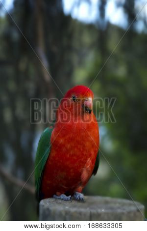 Male australia red parrot on a wood in a forest