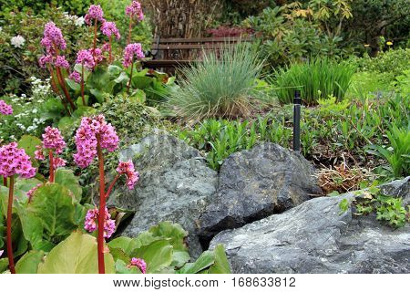 Beautiful spring flowering rock garden. Pink flowers are called Bergenia cordifolia or Elephant ears. Yellow ones are called Euphorbia polychroma or Spurge.