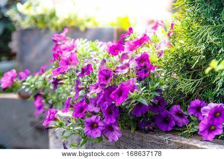Purple Petunia Flowers Grow On A Flowerbed.