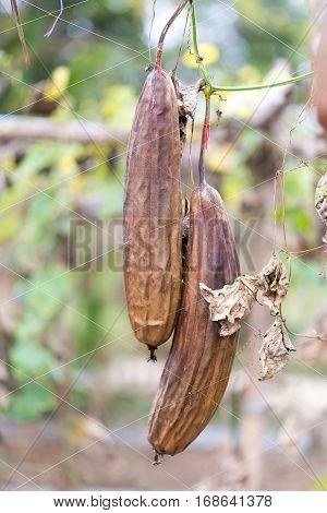 Luffa gourd plant in garden luffa cylindrica