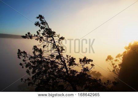 Pine tree in the mist at sunrise. Grampians, Australia