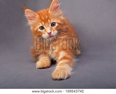 Playful Red Solid Maine Coon Kitten Playing The Paw With Fun Look With Beautiful Brushes On The Ears