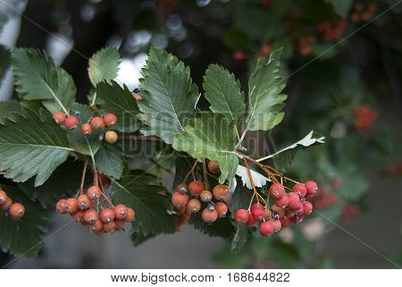 red mountain ash on branch close up rowan ashberry