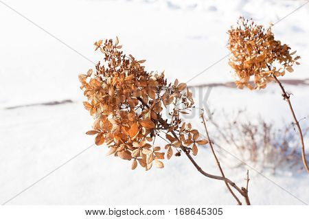 Two yellow dry plants in white snow