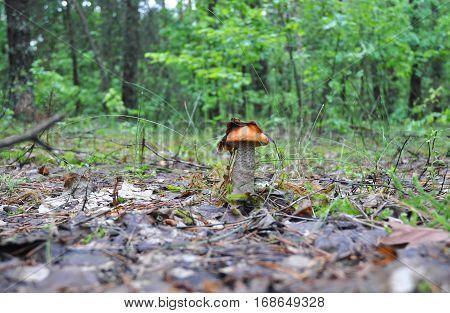 Leccinum mushroom with leaf mushroom photo forest photo forest mushroom forest mushroom photo. Mushroom hunting. Gathering Wild Mushrooms.