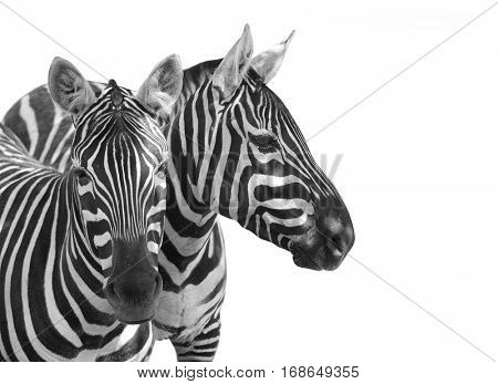 The Plains Zebra, Equus quagga is big mammal from Africa. Animals on white background. Wildlife and safari thematic picture with space for your text.