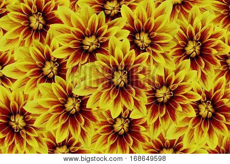 flowers dahlias yellow-red. flowers background. floral collage. flower composition. Nature.