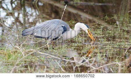 Grey heron catches a frog - Ardea cinerea