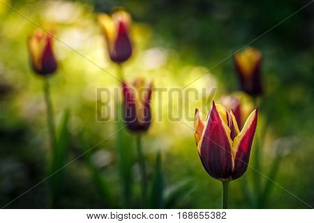 Tulip With Stripe On Shady Glade