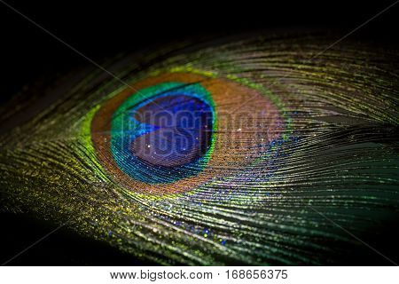 Colorful feather peacock with drops and lights