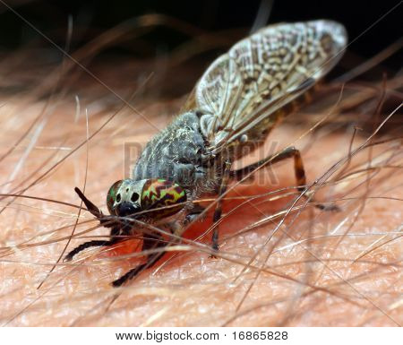 Gad-fly Haematopota Pluvialis - dangerous vehicle of infection poster