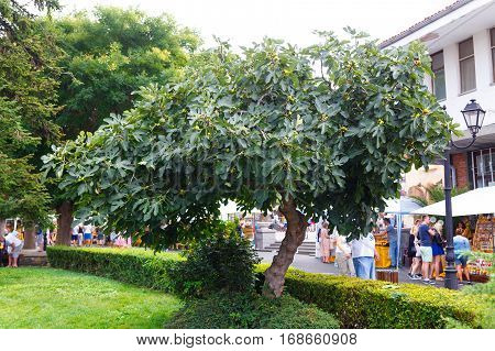 NESSEBAR, BULGARIA - AUG 29: Fig tree with ripe fruits on the ancient streets of Nesebar, Bulgaria at August 29, 2016