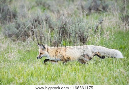 Red Fox (Vulpes Vulpes) hunting in the green grass. Yellowstone National Park, Wyoming, USA